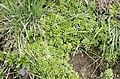 Sedum cepaea plant (34).jpg