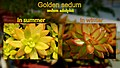 Sedum colour change.jpg