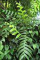 Selenicereus chrysocardium kz1.jpg