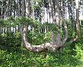 Sesselbaum St. Johann.jpg