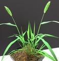 Setaria viridis viridis.tif