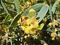 Simmondsia-chinensis-20080325.JPG