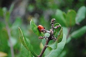 Rhus integrifolia - Single fruit on a Lemonadeberry plant.