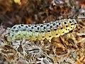 Sitochroa palealis (Crambidae) - (caterpillar), Elst (Gld), the Netherlands.jpg