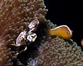 Skunk anemonefish crab.jpg