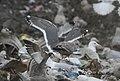 Slaty-backed Gull, Republic Landfill, Bay Co., MI, December 15, 2011 (6517787833).jpg