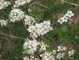 Sleedoorn bloemen (Prunus spinosa).jpg