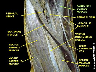Adductor longus muscle - Image: Slide 10CCCC