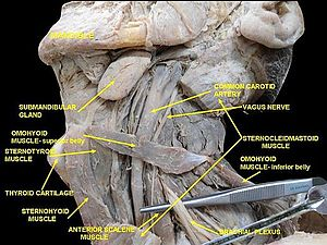 Scalene muscles