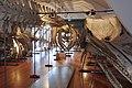 Slottsfjellsmuseet Museum Hvalhallen (Whale Hall) Tønsberg, Norway. Hvalskjeletter (Old skeletons) Finnhval (Fin whale 1895 behind) Blåhval (Blue whale 1900 ceiling) Spermasetthval (Sperm whale 1896 right) etc 2020-01-21 2286.jpg