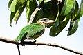 Small-green-barbet-from-kerala-kottayam.jpg