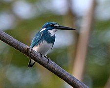 Small Blue Kingfisher (Alcedo coerulescens) - male.jpg