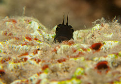 Smooth-fin Blenny - Ecsenius frontalis (5960689682).jpg