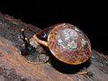 Snail (Bertia brookei) (6635841233).jpg