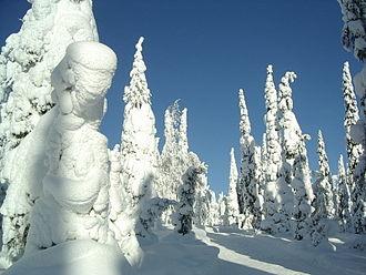 Kuusamo - Snow-covered trees in Kuusamo