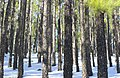 Snow At The Forest (141746555).jpeg