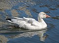 Snow goose in Central Park (32949).jpg