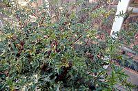Solanum atropurpureum habit