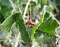 Soldier beetle (20587521202).jpg