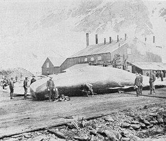 Grytviken - Photograph of Solveig Jacobsen standing (with her dog) in front of a whale on the Grytviken flensing plan, taken by Magistrate Edward Binnie in 1916.