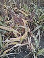 Sorghum Plants Ready for Harvest.jpg