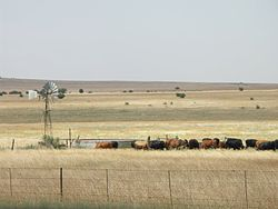 South Africa-Free State-Cattle01.jpg