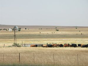 Free State (province) - Cattle grazing near Winburg