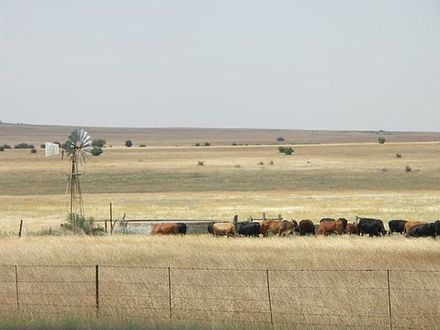 Cattle grazing near Winburg South Africa-Free State-Cattle01.jpg