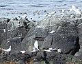 South American Terns.jpg