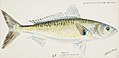 Southern Pacific fishes illustrations by F.E. Clarke 62.jpg