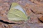 Southern small white (Pieris mannii) underside Macedonia.jpg