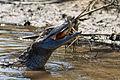 Spectacled Caiman - Baba (Caiman crocodilus) (8698136554).jpg