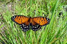 An orange, black and white butterfly on grass