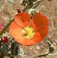 Sphaeralcea ambigua 7.jpg
