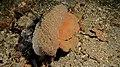 Sponge Crab (Dromia sp.) (6064330617).jpg