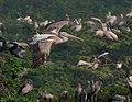 Spot-billed Pelican (Pelecanus philippensis) in flight in AP W IMG 3386.jpg