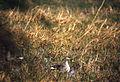 Spotbill Duck (Anas poecilorhyncha) (19598186154).jpg