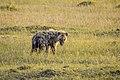 Spotted Hyena Masai Mara Kenya (20394067226).jpg