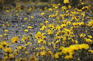 Encelia farinosa - E. farinosa in California's Colorado Desert