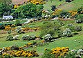 Spring colours near Rostrevor - geograph.org.uk - 801359.jpg