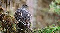 Spruce grouse - Moose Meadows.jpg