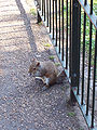 Squirel st james park.jpg