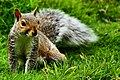Squirrel - RSPB Sandy (15192910540).jpg