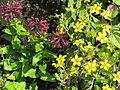 Stachys thunbergii and Chrysogonum virginianum (27696093033).jpg