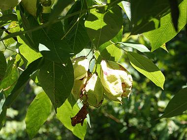 Staphylea trifolia SCA-5107.jpg