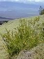 Starr-010419-0055-Olea europaea subsp cuspidata-young plants by fence-Kula-Maui (24423954432).jpg