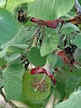 Starr-061106-1432-Abutilon menziesii-flowers and leaves-Maui Nui Botanical Garden-Maui (24572878060).jpg