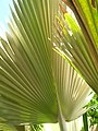 Starr-061108-9816-Pritchardia arecina-underside of frond with golden hairs-Hoolawa Farms-Maui (24240569764).jpg