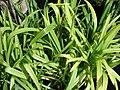 Starr-070906-8460-Agapanthus praecox subsp orientalis-cv Elaine-Kula Ace Hardware and Nursery-Maui (24891402195).jpg