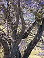 Starr-090514-7781-Jacaranda mimosifolia-bark and trunk-Kula-Maui (24324566004).jpg